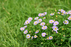 Chamomile flower and green grass Stock Photos