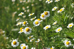 Chamomile flower on green meadow Stock Image