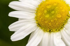Chamomile flower on the green natural background, macro image