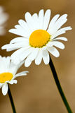 Chamomile flower Stock Photos