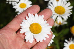Chamomile flower in the human palm Royalty Free Stock Images
