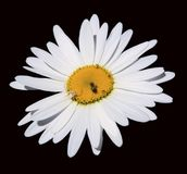 Chamomile flower isolated on black background Stock Photo
