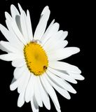 Chamomile flower isolated on black background Royalty Free Stock Photography