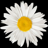 Chamomile flower isolated on black background with clipping path Stock Photo