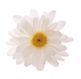 Chamomile flower isolated Royalty Free Stock Photo