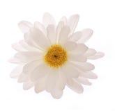 Chamomile flower isolated Royalty Free Stock Photo