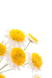 Chamomile flower isolated on white Stock Images
