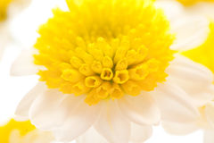 Chamomile flower isolated on white Stock Photography