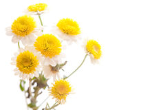 Chamomile flower isolated on white Royalty Free Stock Photography