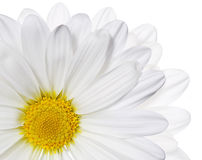 Chamomile flower isolated on white. Daisy. Stock Photography
