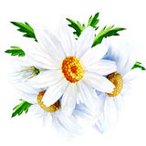 Chamomile flower with leaves isolated on a white background Stock Photography