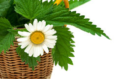 Chamomile flower and leaves of nettle on white background. Stock Image