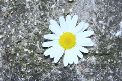 Chamomile flower Royalty Free Stock Photo