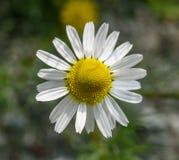 Chamomile flower Matricaria chamomilla Royalty Free Stock Photo