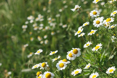 Chamomile flower meadow Royalty Free Stock Photos