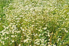 Chamomile flower nature background Stock Photos