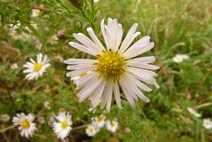 Free Chamomile Flower On The Meadow Stock Images - 104202124
