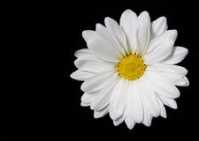 Chamomile flower over black background Royalty Free Stock Photos