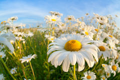 Chamomile flower over blue sky Royalty Free Stock Image