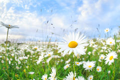 Chamomile flower over blue sky Royalty Free Stock Photos