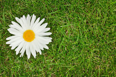 Chamomile flower over green grass. With copy space Stock Photo
