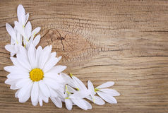 Chamomile flower with petals over old wood background. Royalty Free Stock Photography