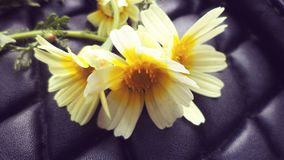 Chamomile flower . Picture of a three chamomile flowers with a background for a black bag, Usable as wallpaper or for designs. Tlemcen, Algeria royalty free stock image