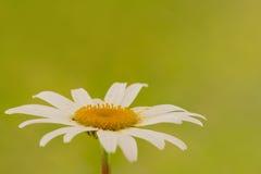 Chamomile flower. Single chamomile flower on blurry green background Stock Image