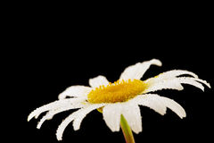 Chamomile flower. Single chamomile flower with water droplets on black background Royalty Free Stock Photo