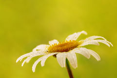 Chamomile flower. Single chamomile flower with water droplets on green background Royalty Free Stock Photo