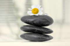 Chamomile flower on stones Stock Image