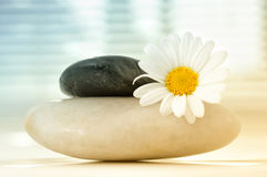 Chamomile flower on stones Stock Images