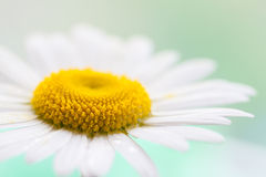Chamomile flower. Super macro shot with shallow depth of field Stock Photography