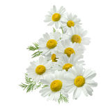 Chamomile flower vertical group right isolated on white Royalty Free Stock Images