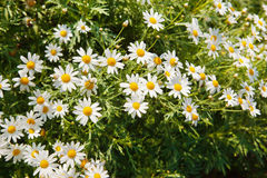Chamomile flower with water drop in garden Royalty Free Stock Photography