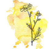 Chamomile flower at watercolor background. Vector chamomile flower at watercolor background, hand drawn medical herb, line drawing plant, isolated floral element Stock Photography