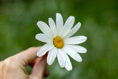 Chamomile flower is a wheel of fortune for love. royalty free stock photography