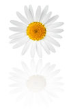 Chamomile Flower Royalty Free Stock Photos