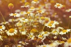 Chamomile flower (wild chamomile) Stock Images