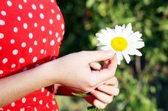Chamomile flower Stock Image
