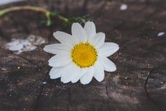 Chamomile flower on wood background Royalty Free Stock Photos
