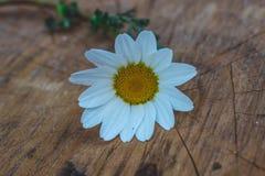 Chamomile flower on wood background Royalty Free Stock Photography