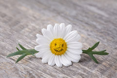 Chamomile flower Stock Photo