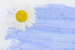 Chamomile flower on wooden background Royalty Free Stock Photography