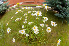 Chamomile flowerbed royalty free stock photo