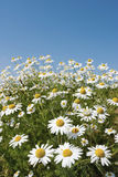 Chamomile flowers. On the field Royalty Free Stock Photos