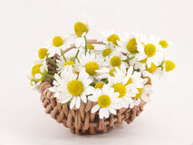 Chamomile flowers. In the Basket Stock Image