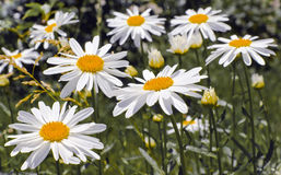 Chamomile flowers. On a green background Stock Images