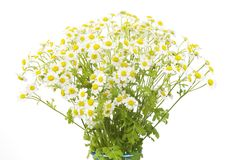 Chamomile flowers, Royalty Free Stock Photography