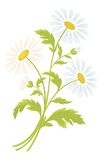 Chamomile flowers. Bouquet of daisies flowers isolated on a white background. Vector illustration Royalty Free Stock Photos